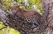 Sri Lankan Leopard (panthera Pardus Kotiya), Predator Native To Sri Lanka. Wildlife, Yala National P poster
