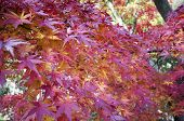 Autumn Leaves In Japan. Autumn Is One Of The Most Famous Seasons To Travel In Japan. poster