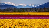 Yellow Red Purple Tulips Flowers Snow Mountains Skagit Valley Washington State