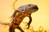 stock photo of newt  - great crested newt or water dragon in fresh water pond endangered and protected species - JPG