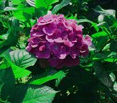 Purple Flower. Flower In Garden At Sunny Summer Or Rainy Day. Flower For Beauty Decoration And Agric poster