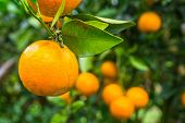 Close Up Of Orange Trees In The Garden, Selective Focus Fresh Orange On Plant, Orange Tree poster