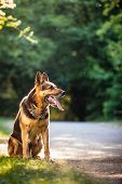 image of alsatian  - Beautiful German Shepherd Dog  - JPG