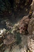 Scorpionfish  in the Red Sea.