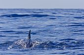 Pilot Whale swimming into the ocean
