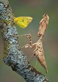 Mantis And Butterfly