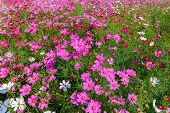 Beautiful Cosmos Flowers Blooming In Cosmos Field On Summer At Saraburi, Thailand, Flower Garden Con poster