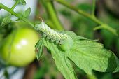 picture of hornworms  - a hornworm sitting on a tomato plant - JPG
