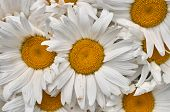 Close-up Of Real Large White Gerberas Group With Natural Small Petal Damage. Yellow Flower Center. P poster