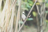 Bird (white-crested Laughingthrush) In Nature Wild poster