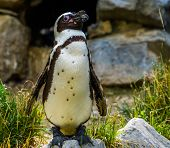Funny Closeup Of A African Penguin Standing On A Rock, Endangered Bird Specie From Africa poster