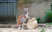 Kangaroo stand in Chicago zoo