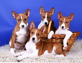 Basenji puppys on the blue background