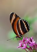 Banded Orange Butterfly, Dryadula phaetusa
