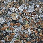 picture of face-fungus  - Grey and orange lichen make a pattern on a rock face - JPG