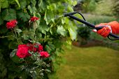 stock photo of aphid  - Protecting plant from vermin with pressure sprayer - JPG