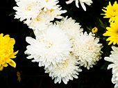 White Chrysanthemum  In Nakorn Ratchasima, Thailand.
