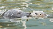 Adult And Yound Grey Seal