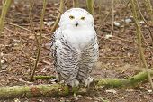 stock photo of snow owl  - Snow owl with large claws sitting in the forrest - JPG