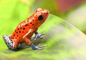 red poison arrow frog on leaf. Oophaga pumilio, an amphibian of the tropical rainforest in Panama. A