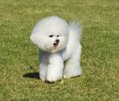 image of bichon frise dog  - A small beautiful and adorable bichon frise dog standing on the lawn and looking cheerful - JPG