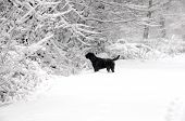 stock photo of christmas dog  - shot of a labrador in the forest n the snow - JPG