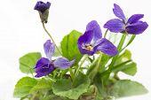Purple violets (Viola Odorata), closeup