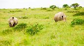 zwei Nashörner in Savanne