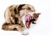 Постер, плакат: Большие Mutt собака лижет ее губы