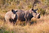 picture of herbivorous  - Rhino standing in nature eating grass grey large dangerous - JPG