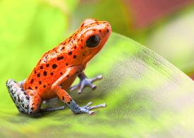 image of poison arrow frog  - red poison arrow frog on leaf - JPG