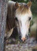 A Pony Hiding Behind a tree.