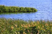 Bulrush And Lake In Summer