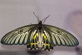 Top View Of Common Birdwing Butterfly