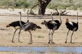 foto of ostrich plumage  - Group of ostriches at a waterhole in the dry desert looking for food - JPG