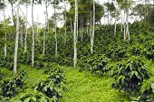 foto of coffee crop  - Coffee bushes in a shade - JPG