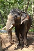 Indian Elephant also called Asian Elephant - Elephas Maximus