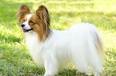 picture of epagneul  - A small white and red papillon dog (aka Continental toy spaniel) standing on the grass looking very friendly and beautiful