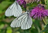 Butterfly (black-weined White) (aporia Crataegi)