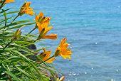 Lilies At Sea