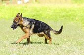 picture of herding dog  - A young beautiful black and tan German Shepherd Dog puppy walking on the grass while looking happy and playful - JPG