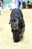 foto of schnauzer  - A young beautiful black Giant Schnauzer with uncropped ears and undocked tail walking on the grass - JPG