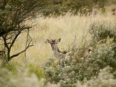 European Roe Deer (capreolus Capreolus) Hiding Behind The Bushes In The Waterleidingduinen, The Neth