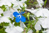 stock photo of lobelia  - Blue lobelia  - JPG
