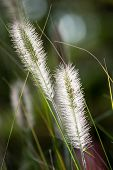 Flowers Of Dwarf Foxtail Grass In Morning Sun