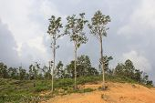 Deforestation: Jungle Rain Forest in Borneo, Malaysia, is destroyed to make way for oil palm plantat