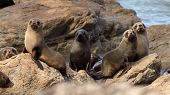 Fur Seal Herd