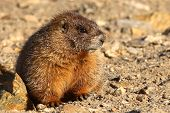 picture of marmot  - A juvenile Yellow - JPG