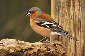 Male Chaffinch On Perch