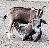 foto of baby goat  - Goat mother taking care of her baby - JPG